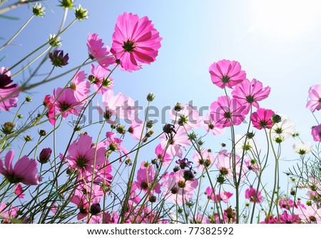Beautiful pink flowers and Blue sky #77382592