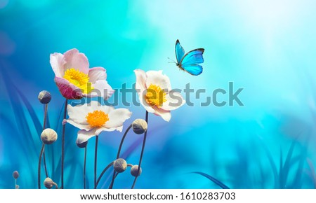 Beautiful pink flowers anemones fresh spring morning on nature and flying blue butterfly on soft blue background, macro. Amazing artistic elegant image of spring nature.