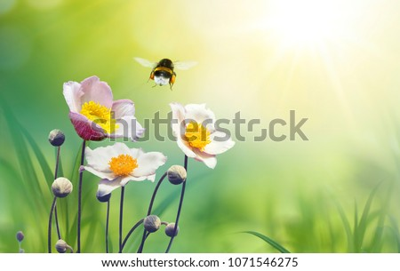 Photo of Beautiful pink flowers anemones on meadow and flying bumblebee macro on soft blurry light green background in warm  summer in sunshine in nature, bright soulful artistic image, copy space.