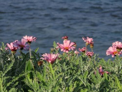 Beautiful pink flowers Arktotis on the background of the Mediterranean sea in winter in Haifa in Israel close-up.
