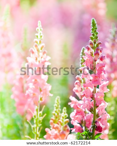Beautiful pink flowers at Northern of Thailand
