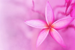 Beautiful pink flowers for background, Pink plumeria, Pink background