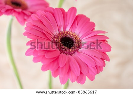 Beautiful pink flowers isolated against white background