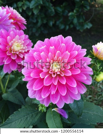 Beautiful pink flowers of 'Gallery Rembrandt' Dahlia blooming in the garden, close up