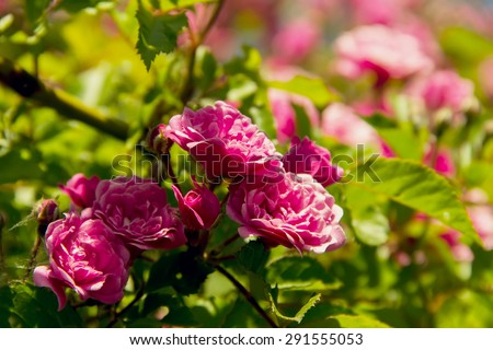 beautiful pink flowers roses