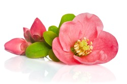 beautiful pink flowers with buds on white background