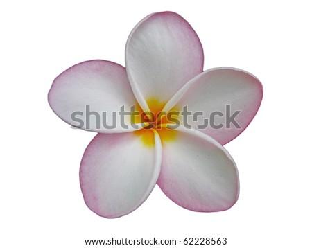 Beautiful Pink Frangipani Plumeria