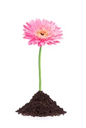 beautiful pink gerbera daisy flower grouth in soil isolated on white background