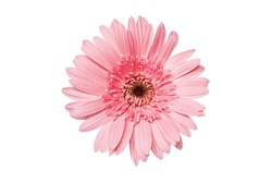 Beautiful Pink Gerberas flower isolated on white background.