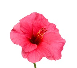 beautiful pink hibiscus flower isolated on white background