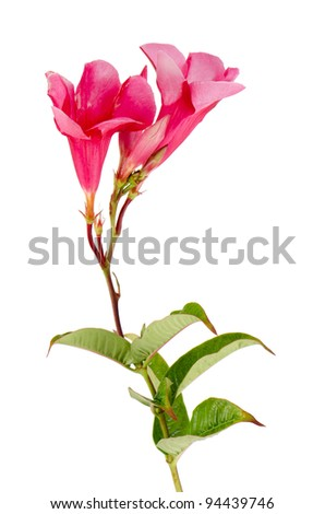Beautiful pink hibiscus flower isolated on white background.