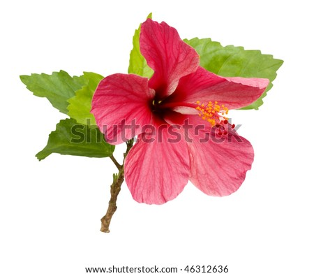 beautiful Pink Hibiscus flower with foliage isolated with clipping path
