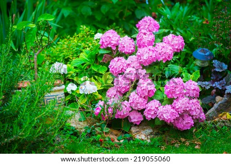 Beautiful pink hydranges (hortensia) standing out of stunning green garden
