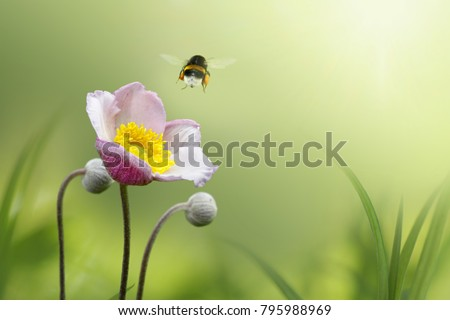 Beautiful pink japanese anemone flower on spring green field and flying bumblebee  in nature macro on soft blurry light background. Concept spring summer, elegant gentle artistic image, copy space
