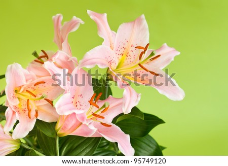 beautiful pink lily flowers on green background
