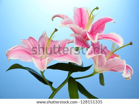 beautiful pink lily, on blue background