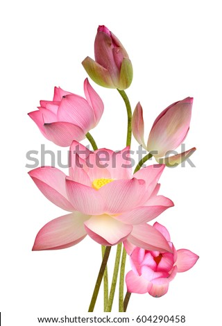Beautiful pink lotus flower bouquet isolated on white background beautiful pink lotus flower bouquet isolated on white background mightylinksfo