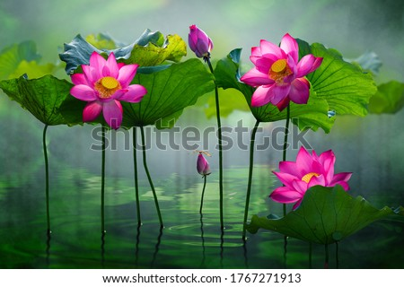 Beautiful pink lotus flower in the lake and lotus flower plants, pure pink lotus flower.