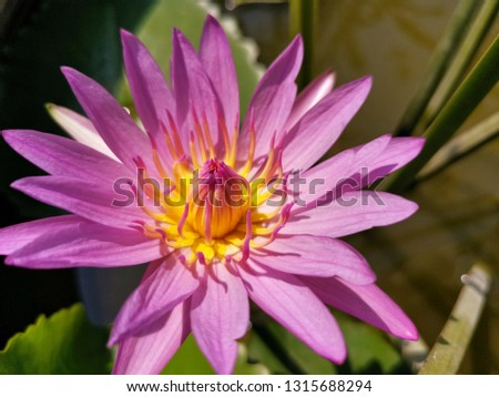 Beautiful Pink lotus flower or water lily blooming in pond at daytime  #1315688294