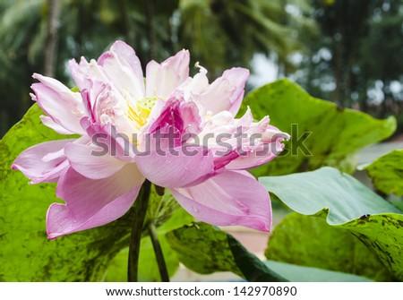 Beautiful pink lotus on the beach