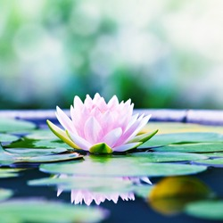 Beautiful Pink Lotus, Pink Water Lily with Reflection in a Pond