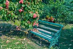 Beautiful pink Mussaenda / musanda flowering plant in a horticulture garden. An empty garden bench rests on the ground.