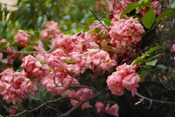 Beautiful pink Mussaenda / musanda flowers in garden,