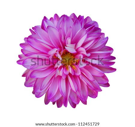 Beautiful Pink Nancilee Dahlia Flower with Yellow Center Isolated on White Background or Aster Family