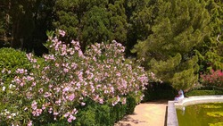 Beautiful Pink Oleander shrubs over trimmed bushes along a path, in front of a not working fountain with greenish water and floating water-lily leaves in luxuriant Nikitskij botanical garden.