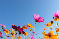 Beautiful pink orange and yellow cosmos flowers are blossoming in the clear light under the blue sky. Cosmos flowers field.