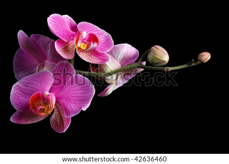 Beautiful pink orchid against black background