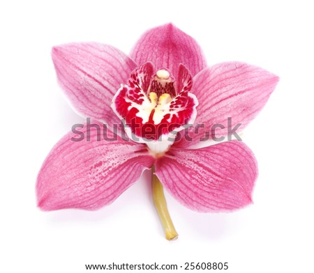beautiful pink orchid against white background
