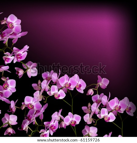 Beautiful pink orchid flower on black background