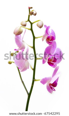 Beautiful pink orchid flower on white background