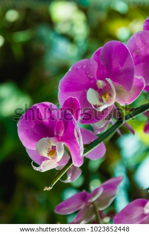 Beautiful pink Orchid flower with green floral background. Amazing pink Orchids with space for text. Amazing Pink, purple and white Orchids flowers.