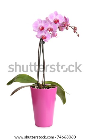 Beautiful pink orchid in the pot isolated on white #74668060