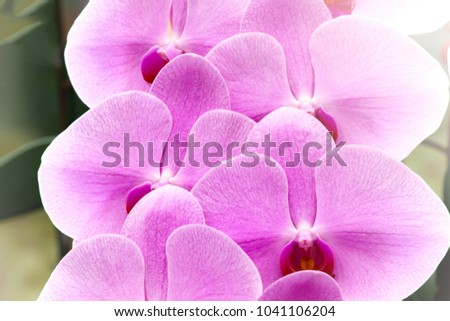 Beautiful pink orchid is blooming with morning light.It is phaleanopsis species.Good for devor or cut for sell.