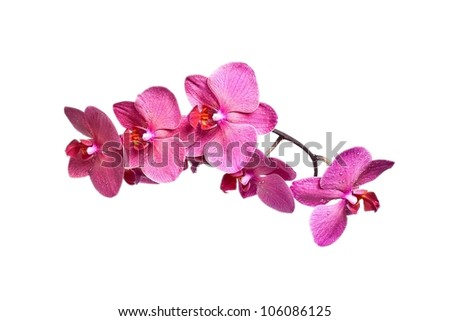 Beautiful pink Orchid, isolated on a white background.