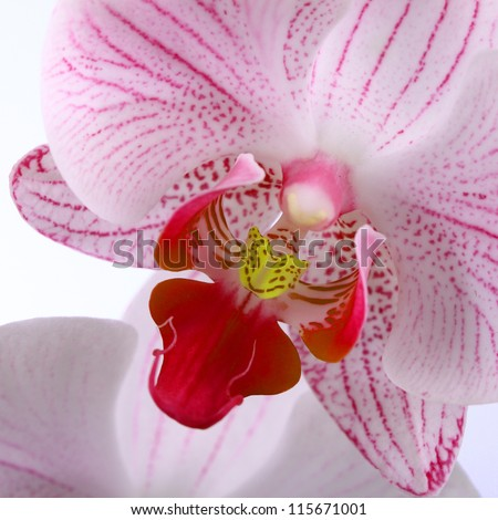 Beautiful pink orchid on a white background closeup