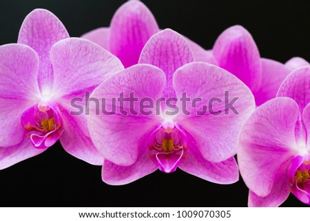 Beautiful pink orchids. Black background. Flowers close up. Pure herbal nature. Nature luxury industry. Amazing card.