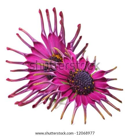 beautiful pink osteospermum, part of the african daisy genus.