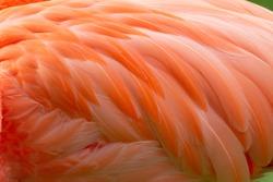 Beautiful Pink Pattern Flamingo Feathers Close-up