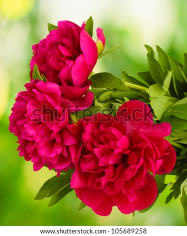 beautiful pink peonies on green background