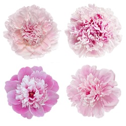 beautiful pink peony are isolated on a white