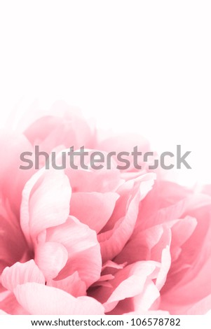 beautiful pink peony close up isolated on white