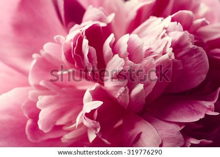 Beautiful pink peony flower close up #319776290
