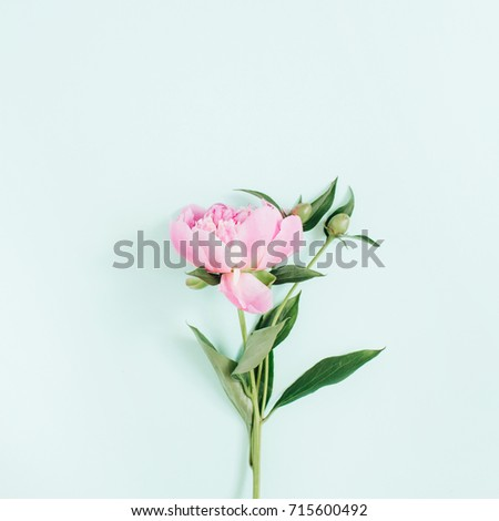 Beautiful pink peony flower on blue background. Flat lay, top view. Festive peony flower concept. #715600492
