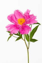 beautiful pink peony flower with yellow stamens on a white background