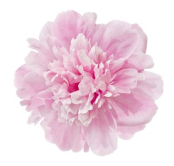 beautiful pink peony isolated on a white