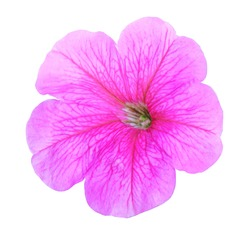 Beautiful pink petunia flower isolated on white background. Natural floral background. Floral design element